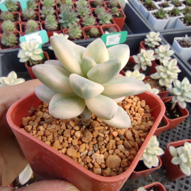 แคคตัส ยิมโนด่าง กระบองเพชร Graptoveria Tibuban G Succulents กุหลาบหินนำเข้า ไม้อวบน้ำ
