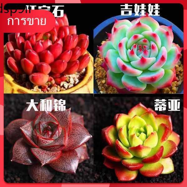 เมล็ด กุหลาบหิน Succulents ✩Succulent ไม้อวบน้ำชุดหายากหลากหลายกล่องไม้กระถางดอกไม้รวมพีชไข่ทับทิมหยกหมูกระถาง♣