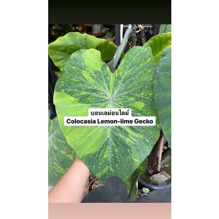 บอนเลม่อน เลม่อนไลม์(Colocasia Lemon-lime Gecko) พร้อมส่ง💚📦