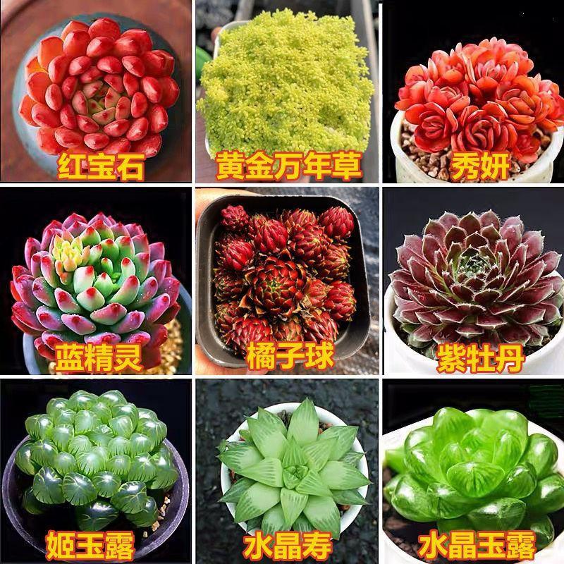 บอนไซ/ใบไม้ปลอม/กระถางแขวน/ ฉ่ำสุดหรู ไม้อวบน้ำ รวมกระถางพีชไข่ Xiuyan ทับทิมชิวาวาพืชสีเขียวสวนดอกไม้