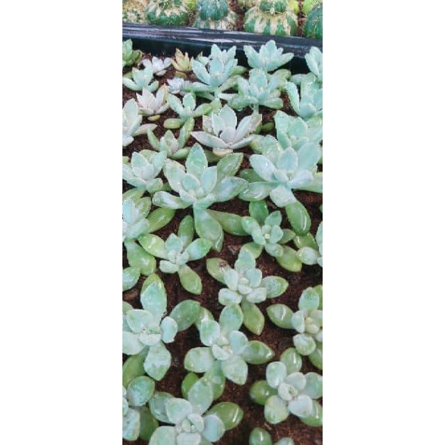 กุหลาบหิน ไม้อวบน้ำ Succulents แคคตัส