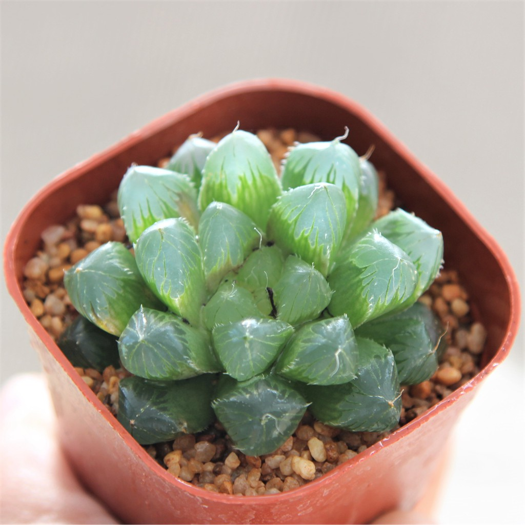 "Haworthia cooperi var. pilifera""super"" 3 Inch กุหลาบหินนำเข้า ไม้อวบน้ำ"