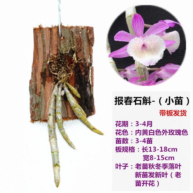 ✕◄┋กล้วยไม้สกุลหวาย มีดอกตูมและไม้กระดานที่ปลูกด้วยฝักซ้อน น่องติดกิ๊บสีทอง กล้วยไม้สกุลหวายในกระถาง ดอกแคทลียา