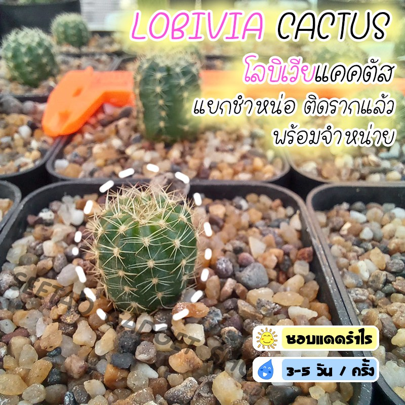 🌵Lovibia Cactus โลบิเวียแคคตัส ต้นกระบองเพชร กระบองเพชร แคคตัส ราคาถูก ไม้เล็ก ไม้อวบน้ำ