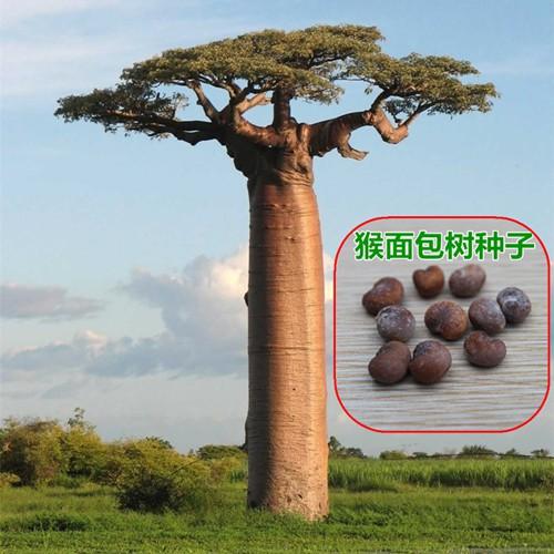 ✾ต้นไม้นำเข้าเมล็ดพันธุ์ไม้อวบน้ำต้นเบาบับต้นเบาบับ ผลไม้ต้นโกงกางต้นไม้โกงกาง