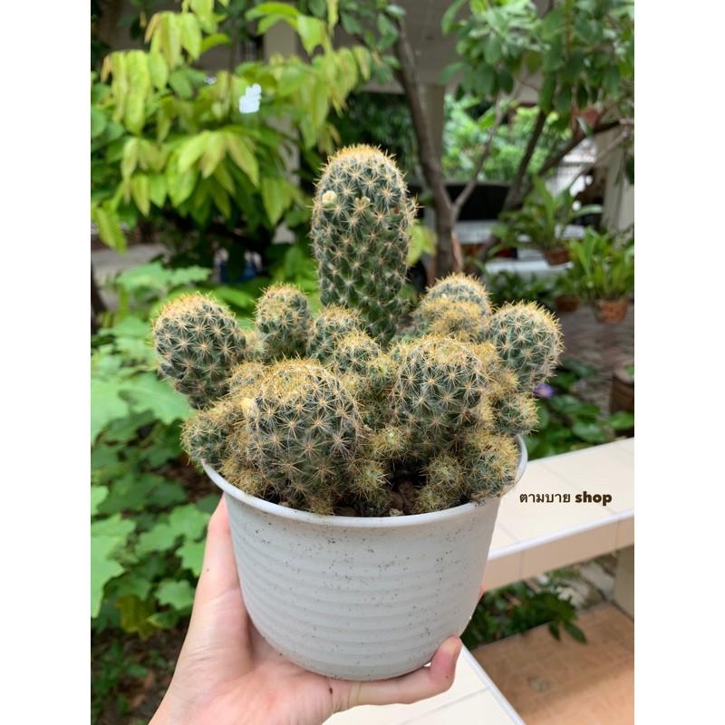 (เด็ดสด) กระบองเพชร แมมเม็ดพริก (Mammillaria Prolifera) แคคตัส cactus ไม้อวบน้ำ