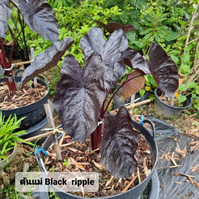 ❗️ส่งฟรี แบล็คริปเปอร์  colocasia black ripple