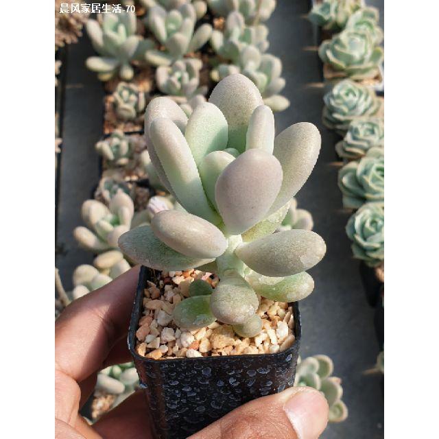 ◙♕☽ต้นไม้อวบน้ำ กุหลาบหิน Pachyphytum  oviferum beauty #succulent