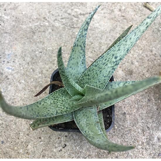 Aloe (Succulent) อโล  ไม้อวบน้ำ