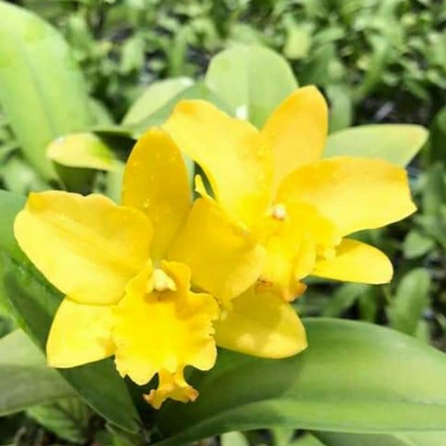 กล้วยไม้แคทลียา Yellow Mini ดอกขนาดกลาง ดอกหอม กระถาง 3.5 นิ้ว กอใหญ่ ไม้หลายหน้า (ส่งแบบไม่มีดอก ขนาดตามภาพตัวอย่าง)