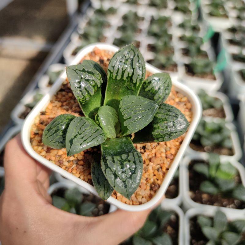 ♈❦Haworthia Marilyn G succulents กุหลาบหินนำเข้า ไม้อวบน้ำ