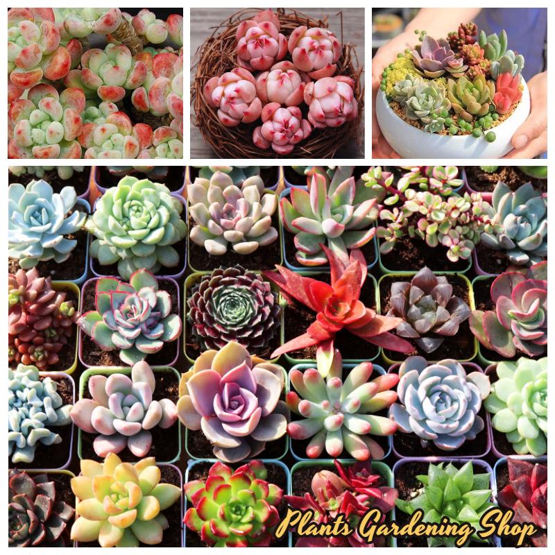 เมล็ดพันธุ์ ไม้อวบน้ำ บอนสี Mixed Succulent Seeds flower seeds บรรจุ 100 เมล็ด เมล็ดพันธุ์แท้ เมล็ดบอนสี พันธุ์ดอกไม้