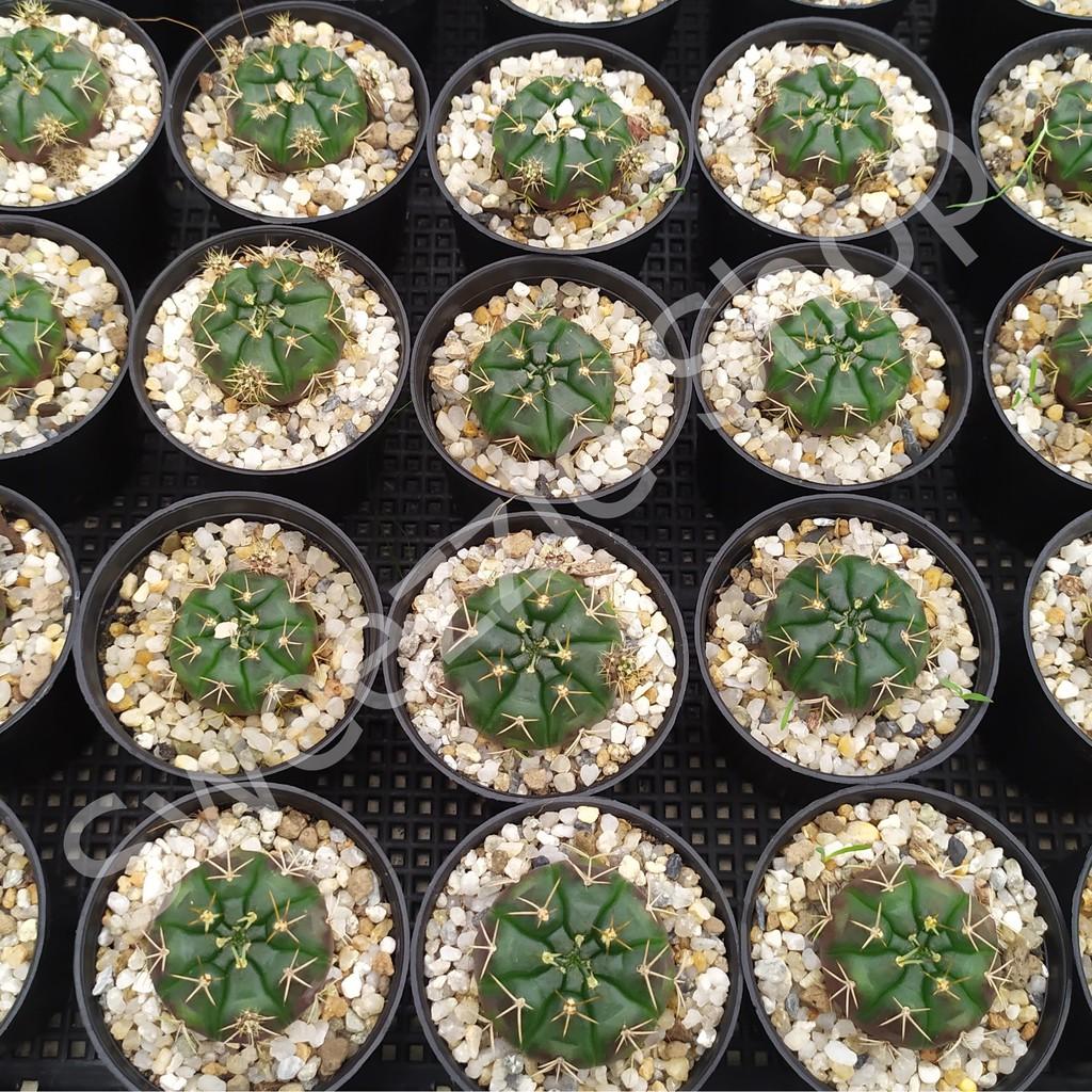 กระบองเพชร แคคตัส (Cactus) ยิมโนแดมซิไอ /ยิมโนลูกดก (Gymnocalycium damsii)  จัดส่งทั้งกระถาง