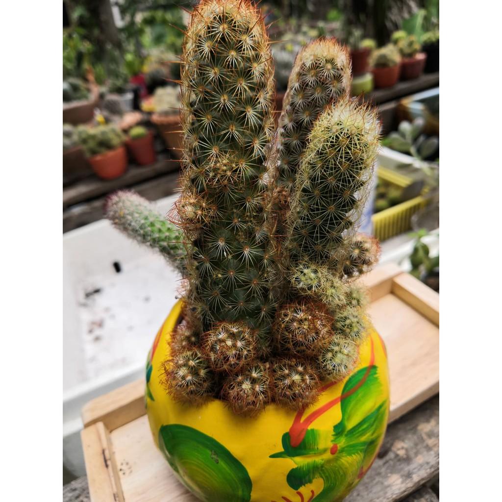 ฟอร์มกอ แมมมิลาเรีย อีลองกาต้า หรือแมมนิ้วทอง Ladyfinger Cactus, Gold Lace Cactus Mammillaria Elongata  ส่งทั้งกระถาง