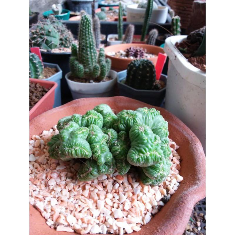 กระบองเพชร (cactus) หยกนำโชค ไม้อวบน้ำ ขนาด 8.57 ซม.