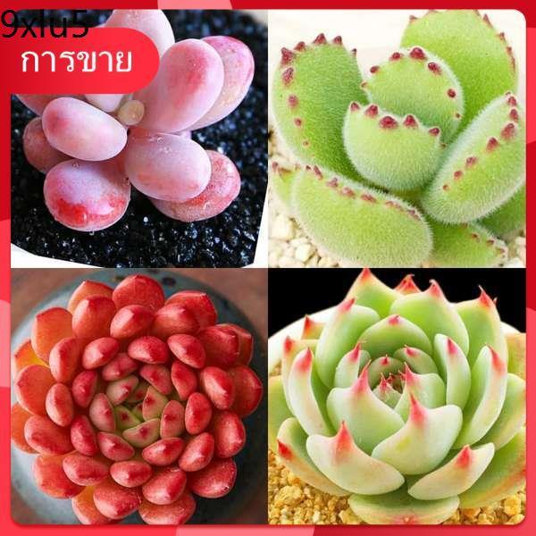 เมล็ด Succulents กุหลาบหิน ☃ไม้อวบน้ำหายากและอวบน้ำกล่องบรรจุต้นไม้ใหญ่ยักษ์บรรจุกระถางพันธุ์หายากสินค้าล้ำค่าหญ้ายืนต้น