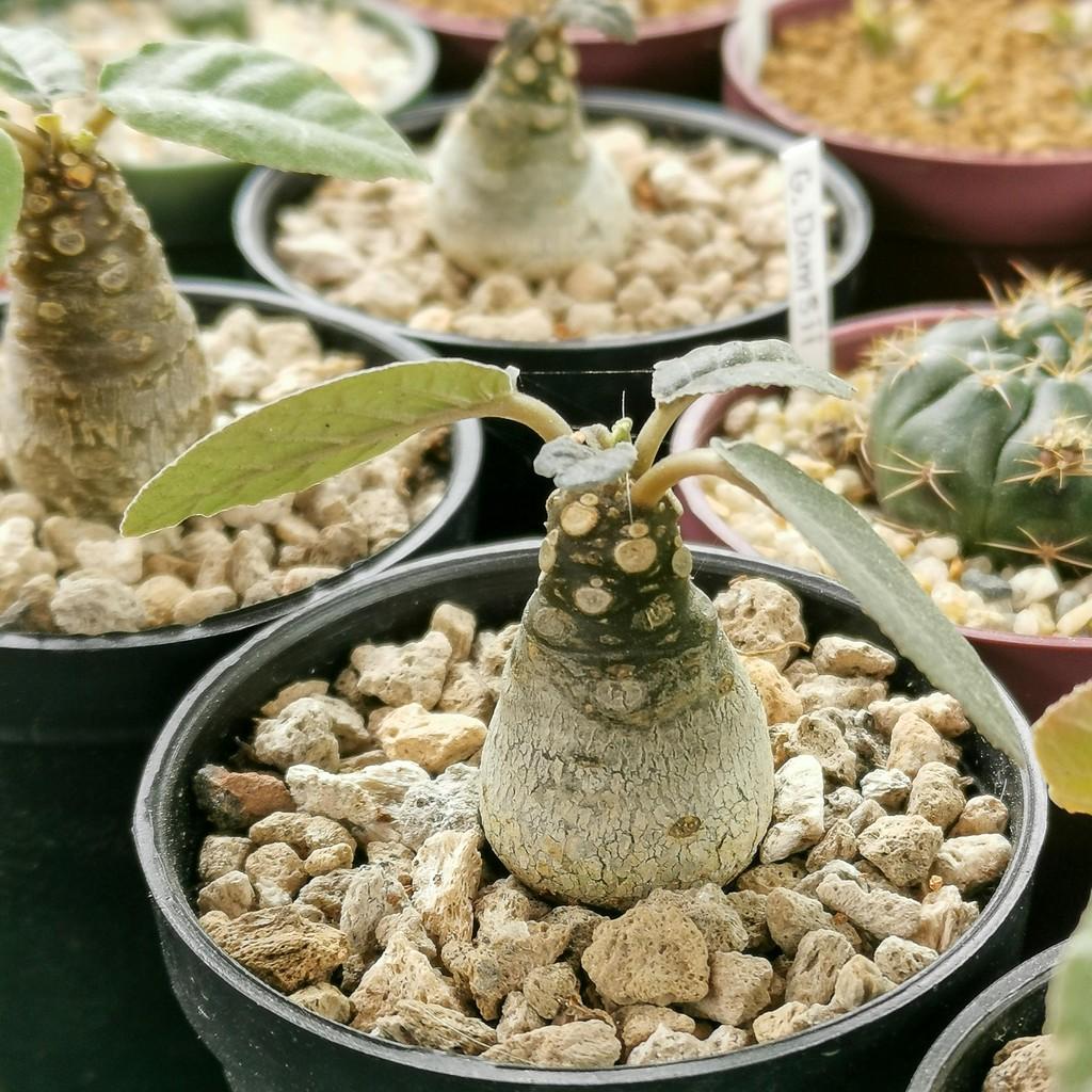 บอนไซ ไม้อวบน้ำ มะพร้าวทะเลทราย ใบกลม ลูกจากต้นแม่ใบด่าง (Dorstenia foetida)