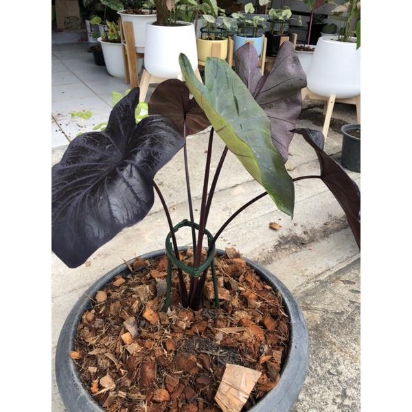 บอนดำ แบล็กโคเรล Colocasia esculenta 'Black Coral'