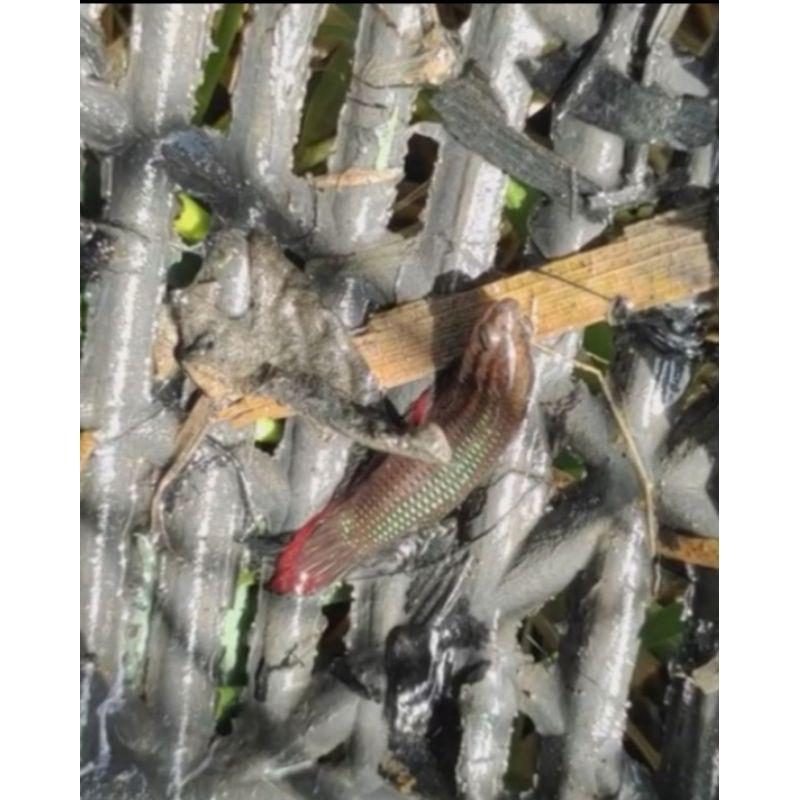 ปลากัดป่า ปลากัดสายใต้ ลูกช้อนแท้100%