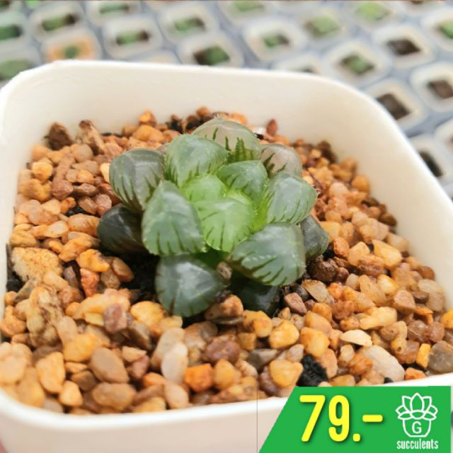 Fruncata Cooperi Mini กุหลาบหินนำเข้า ไม้อวบน้ำ Live Succulent Plant