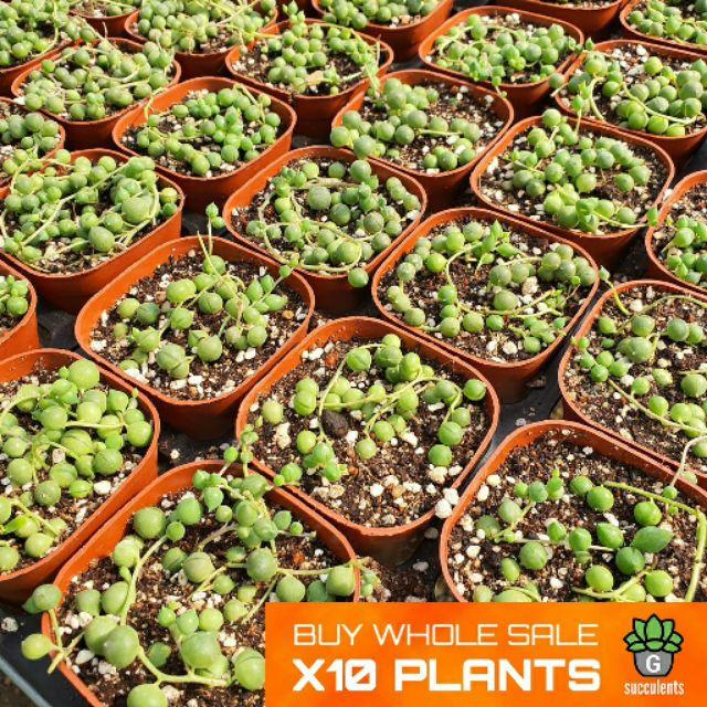 ราคาส่ง Senecio Rowleyanus Mini  Buddha Pearl G Succulents กุหลาบหินนำเข้า ไม้อวบน้ำ. ราคาส่ง 10 ต้น