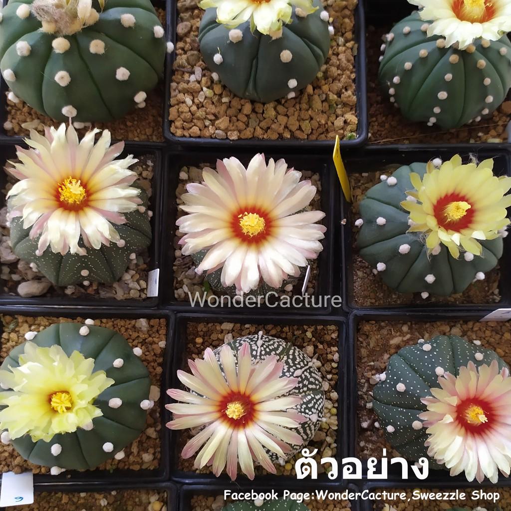 กระบองเพชร แคคตัส (Cactus) แอสโตรไฟตัม แอสทีเรียส (Astrophytum asterias) ไม้เพาะเมล็ดลุ้นสีและลักษณะดอก จัดส่งทั้งกระถาง