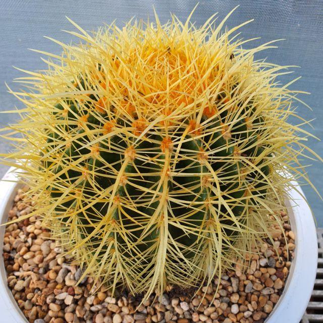 ถังทองแคคตัส  #แคคตัส #cactus #ไม้อวบน้ำ