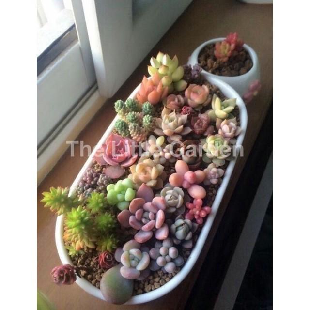 """แคคตัส ยิมโนด่าง กระบองเพชร ⚡️ สินค้าขายดี ⚡️เมล็ดพันธ์ุ""""ไม้อวบน้ำ Succulents""""(พร้อมปลูก)🌷 30เมล็ด🌸"""