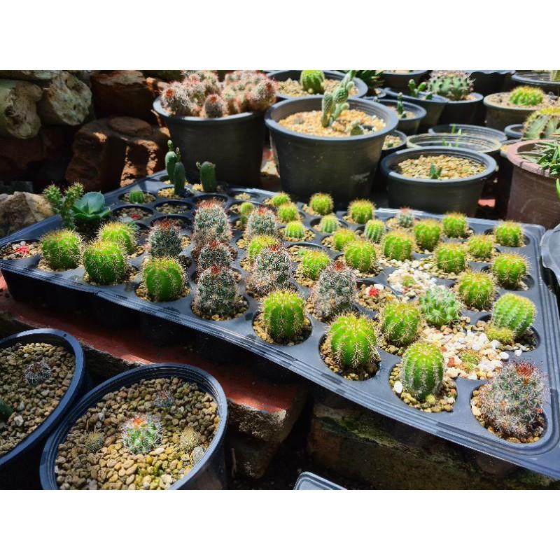 แคสตัส Cactus ไม้อวบน้ำ