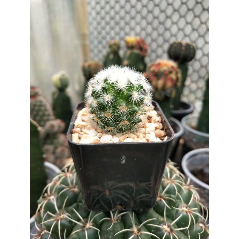-----คามิเน่ขาว cactus-----