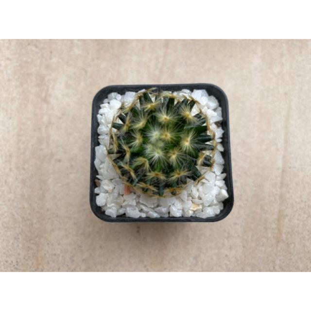 Mammillaria schiedeana cactus