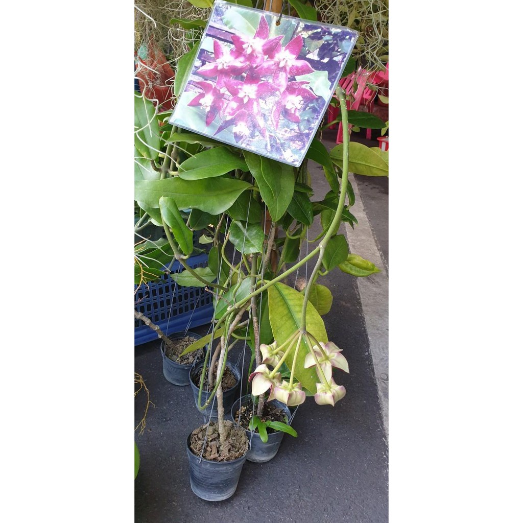 ต้นโฮย่า กล้วยไม้โฮย่า ดอกใหญ่ พันธุ์ออกดอกเก่ง เป็นไม้เลื้อยอิงอาศัย มีใบหนาคล้ายพืชอวบน้ำ มีรากคล้ายรากอากาศ สามารถทนแ