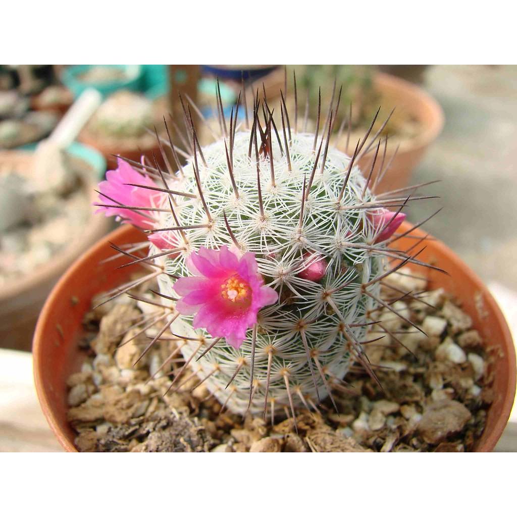 (CACTUS-001) Mammillaria haageana ดอกชมพูพูหวาน ❀✿