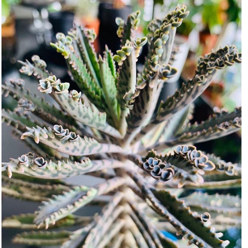 แคตตัส Carousell Kalanchoe Daigemontiana ต้นไม้อวบน้ำ