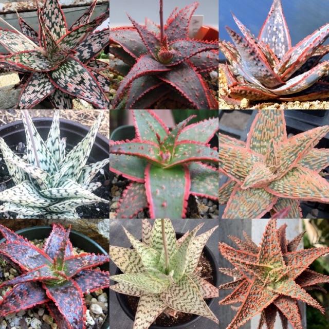 "HOT❗️เมล็ดพันธุ์ ไม้อวบน้ำ ""Aloe hybrid"" (10เมล็ด)"
