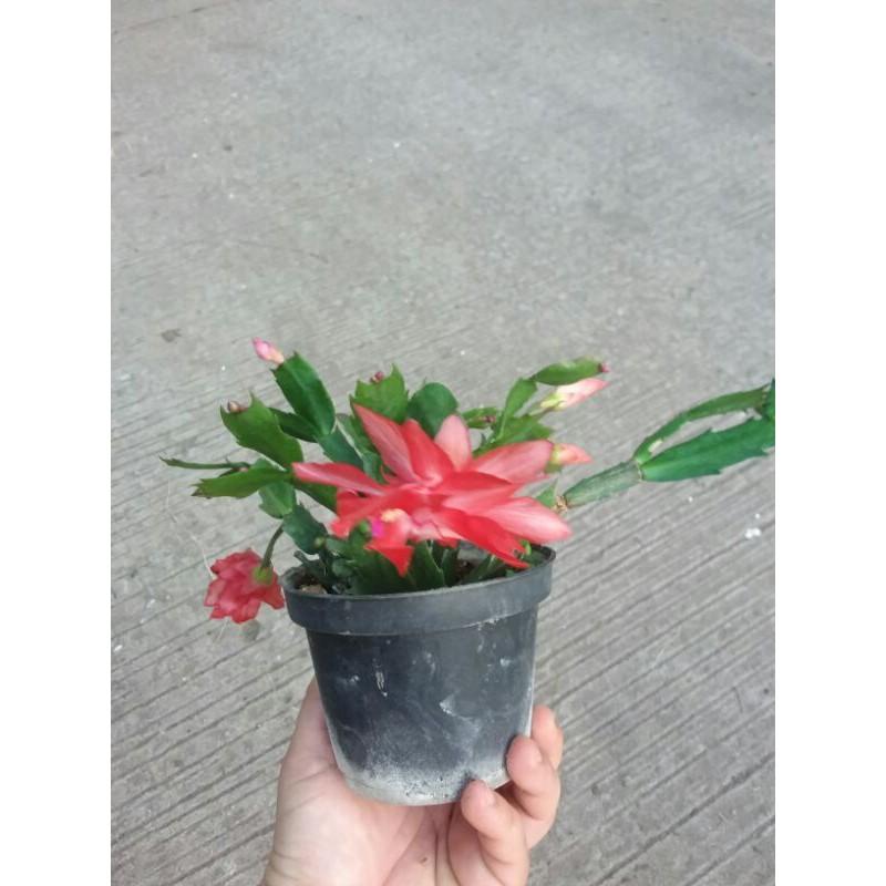 โบตั๋นแคระ  christmas cactus กระถาง 5 นิ้ว  ติดดอกทุกต้น ไม้อวบน้ำ กุหลาบหิน ของขวัญ ไม้ฟอกอากาศ ไม้ดอก