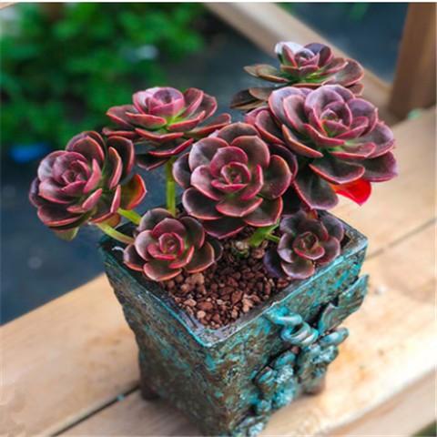 ✧ไม้อวบน้ำนำเข้า Crassulaceae office green mini bonsai
