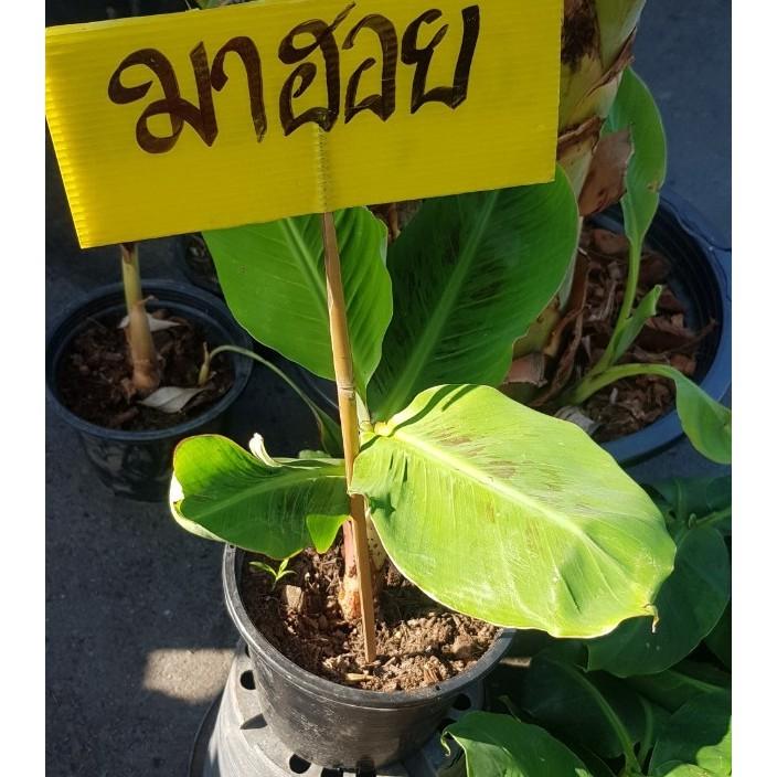 ต้นกล้วยมาฮอย มาฮอย ใบด่าง จัดส่งพร้อมถุง 8 นิ้ว ลำต้นสูง 40-60ซม