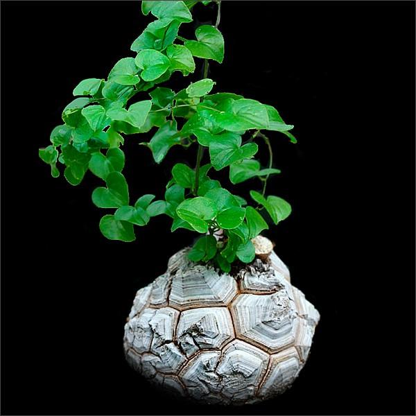 กระดองเต่า กระบองเพชร ไม้อวบน้ำ แคคตัส cactus succulent seeds เมล็ดพันธุ์ Testudinaria Dioscorea elephantipes