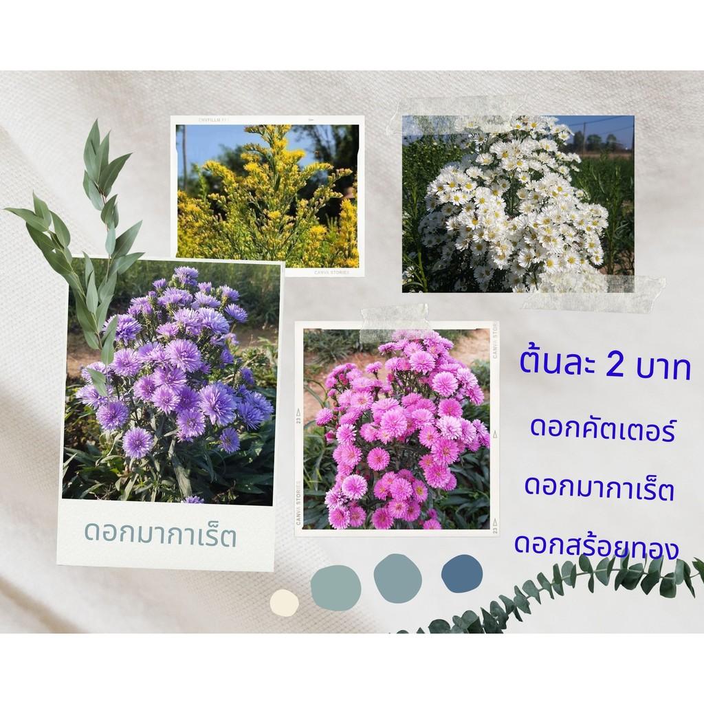 ต้นกล้าดอกมากาเร็ตสีม่วง สีชมพู ดอกคัตเตอร์สีขาว ดอกสร้อยทอง ต้นละ 3 บาท สั่ง 50 ต้นขึ้นไปราคา 2 บาท