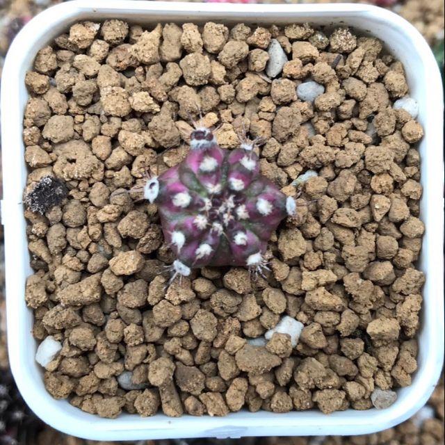 T - Lux Gymnocalycium Mihanovichii Cactus