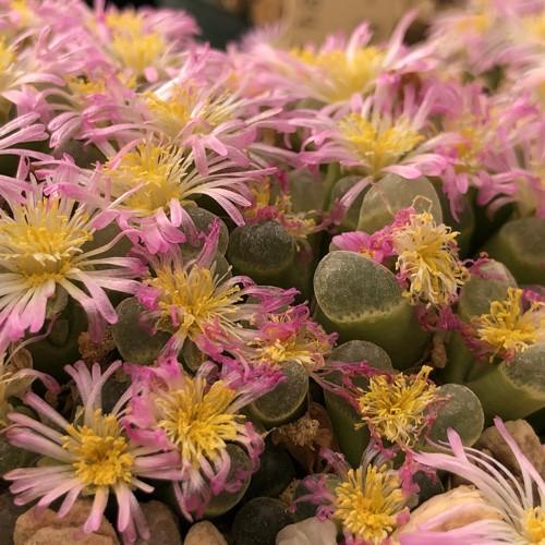 [เมล็ดไม้อวบน้ำ] Conophytum aff pubescens
