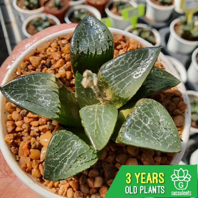 Haworthia Correcta  G Succulents กุหลาบหินนำเข้า ไม้อวบน้ำ