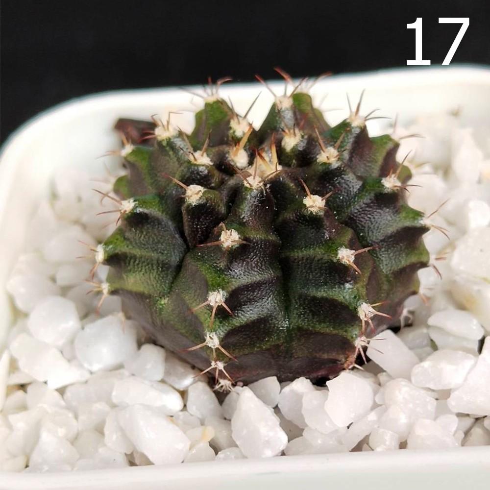 Gymno Cactus แคคตัส ยิมโน Lb ลูกผสม Lb ไฮบริด lb hybrid ไม้เมล็ด เชื้อด่างลุ้นด่างตอนโตได้ ผิวเข้มๆ ในกระถาง 2 นิ้ว (3)
