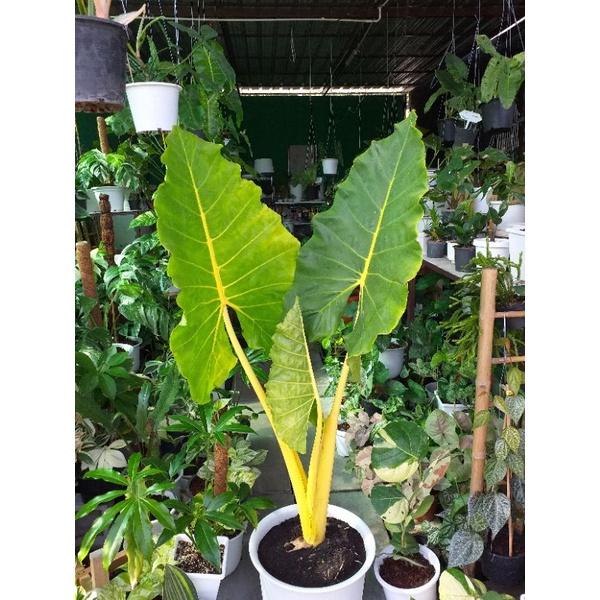 ต้นบอนกระดาษด่างทองต้นใหญ่ไซส์แม่พันธ์