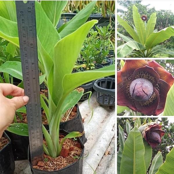 ต้นกล้วยผา กล้วยผา (Ensete superbum) ส่งพร้อมกระถาง 6 นิ้ว