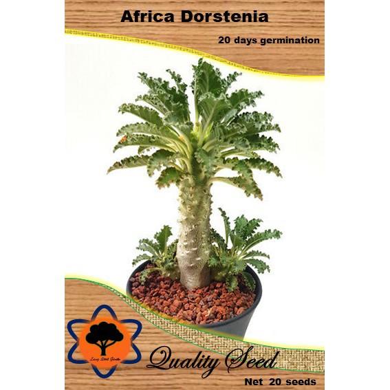 เมล็ดมะพร้าวทะเลทรายแอฟริกา ไม้อวบน้ำ Africa Dorstenia