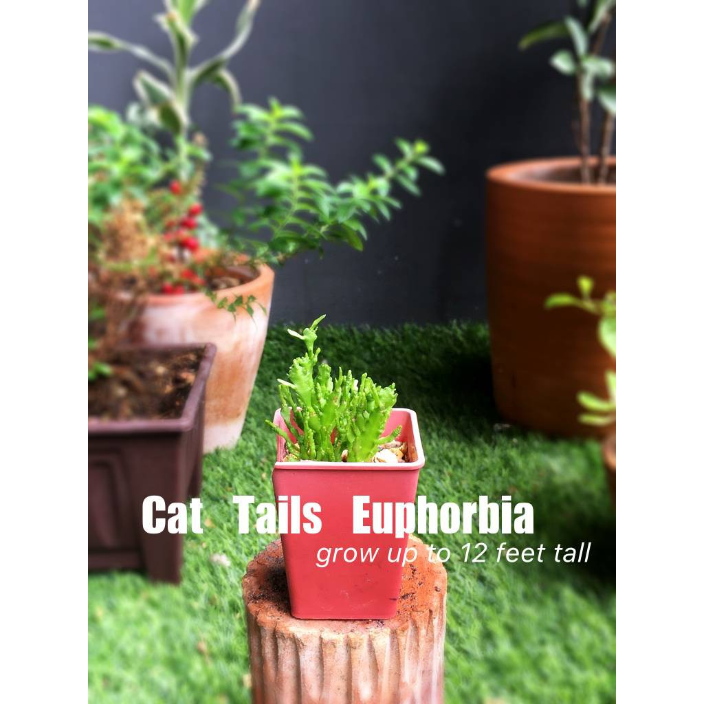 Cat Tail Euphorbia: ใบอวบน้ำ กุหลาบหิน succulent