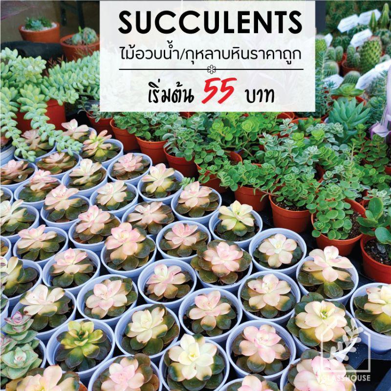 กุหลาบหิน ไม้อวบน้ำ succulents นำเข้าราคาถูก ส่งพร้อมกระถาง 2 นิ้ว