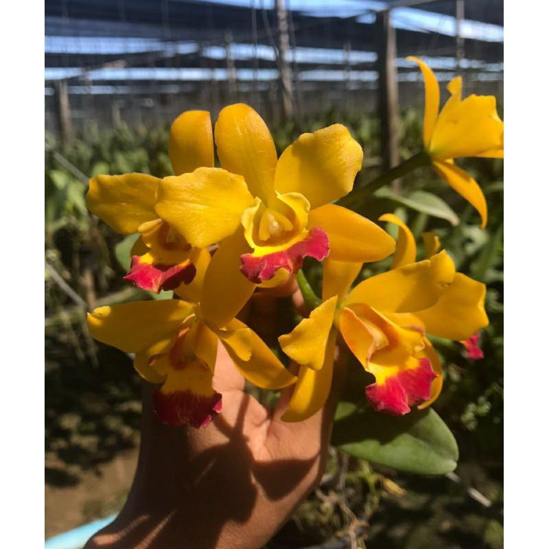 กล้วยไม้แคทลียาเจียสตาร์ บิวตี้ ดอกหอม กระถาง 3.5 นิ้วไม้พร้อมออกดอก(ส่งแบบไม่มีดอก ขนาดตามภาพตัวอย่าง)